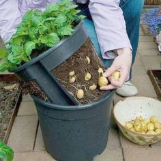 Make a potato pot by cutting out the sides of a plant pot and putting it inside another one - this makes it easier to lift the plants out for harvesting!