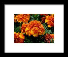 mums, orange, flower, bloom, blossom, nature, garden, michiale, schneider, photography