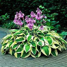 I love Hostas. I grow them all over the place around my house. The reason is because they will grow just about anywhere and require basically no work.    So if you have an area that looks like it needs a little attention, place a hosta there. They are perennials and will come back larger and larger each new year.