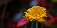 A simple capture at a local greenhouse, utilizing bokeh to define the image. Blink Photography, Bokeh, Dandelion, Amazing, Pretty, Flowers, Plants, Beautiful, Dandelions
