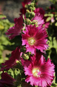Bright Pink Hollyhocks