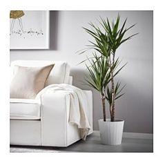 DRACAENA MARGINATA Potted plant, Dragon tree, 3-stem - IKEA
