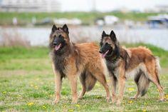 BELGIAN SHEPHEED DOG TERVUREN Belgian Shepherd, Shepherd Dog, Belgian Tervuren, Animal Drawings, Doggies, Dog Breeds, Group, Nature, Style