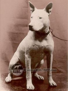 An early English Bull Terrier. This was before the distortion of the down face we see today was preferred.