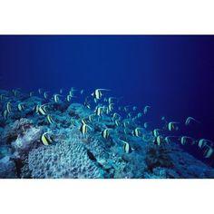 Malaysia Sipadan Island School Of Moorish Idols Over Reef Blue Ocean Canvas Art - Ed Robinson Design Pics (19 x 12)