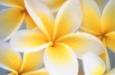 How to Make a Polymer Clay Plumeria Flower