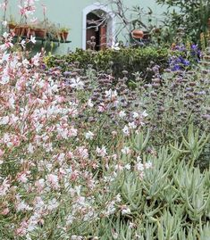Frothy gaura is planted against backdrop of flesh-leafed Cotyledon orbiculata var. The sturdy succulent-fingers provide a visual foundation for the airy stems of gaura. Gaura Plant, Allium Flowers, Gray Gardens, Helichrysum Italicum, Shade Garden Plants, Blue And Purple Flowers, Farmhouse Landscaping, Public Garden, Garden Inspiration