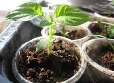 Болгарский перец растет на многих участках, но у одних урожай большой, а у других.