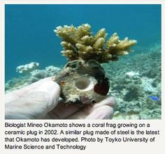 The use of steel can help to revive coral reefs in Indonesia and elsewhere, according to a report in The Yomiuri Shimbun that covered the International Conference on Climate Change and Coral Reef Conservation held last month in Japan. Mineo Okamoto, a professor of marine environmental studies at Tokyo University has been cultivating coral frags in Indonesia using steel settlement devices with great success.  via facebook