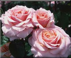 Lady Jane Grey/English Legend® Roses ~ an elegant beauty. rose amber overlaid with blush pink and an inner hint of honey;