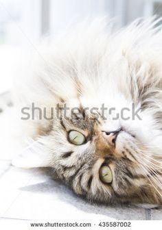 beautiful male cat of siberian breed - stock photo new on @shutterstock #kittens #pets #animals #cute #gatti #whelp #little #feline #puppies #siberian #meow #cubs #cats