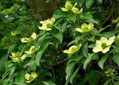 2 Cornus capitata evergreen flowering Dogwood Woodland Specimen Bird Food Tree…
