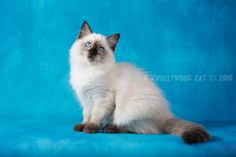 2016: Nasuada A Zwollywood Cat. 13 Weeks old. Ragdoll kitten, seal colourpoint. Eragon litter.