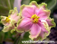 African Violet Leaf Leaves Green Lace Sport | eBay