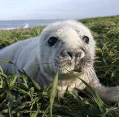 What a cutie! You can see Grey Seals being born each year on the Farne Islands. #nlandwild