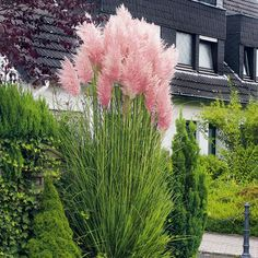 Rosa Pampasgras - Frühjahrs-Rabatt-Aktion