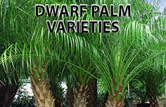 Palm Trees for Sale - Buy Palm Trees Online in Phoenix Arizona