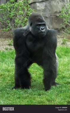 How strong is punch of a gorilla? - Quora