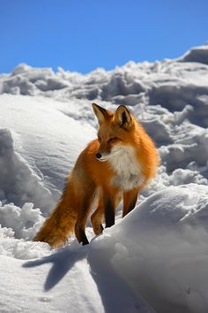Fire and Ice - Keystone, Colorado ~ red fox emerging from its snowy den to enjoy the sun's warmth in late winter