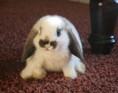 Baby Holland Lop Bunny is so adorable. Just in time for Easter!