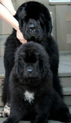 Afghan Loom, Newfoundland Dogs, Tibetan Mastiff, Yorkies, Dog Grooming, Cute Baby Animals, Shih Tzu, Beautiful Babies, Make Me Smile