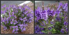 Hebe Purple Pixie is a low growing, dwarf evergreen shrub. The flowers form lilac-blue erect spike shapes in summer and autumn.
