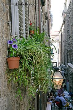 Top 10 Hard to Kill House Plants: Spider plant – Chlorophytum comosum Big Indoor Plants, Potted Plants, Garden Plants, Chlorophytum, Easy Plants To Grow, House Plant Care, House Plants Decor, Spider Plants, Plant Wall