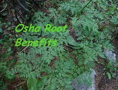 Discover the full and powerful Osha Root Benefits for your health. We explain Osha Root Side Effects and show how to make Osha Root Tea, Learn bear medicine