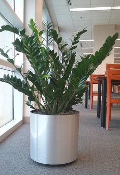 Plants at work, this is one of the plants on my plant care route. A ZZ Plant, or Zamioculcas zamifolia. Easy care...For more about indoor plant care visit my website at http://www.plantandflowerinfo.com/