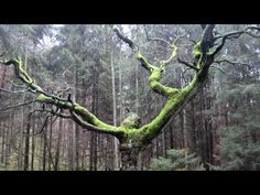 Duchowy wpływ Lasu [Przyroda 4/5] - YouTube Trunks, Youtube, Plants, Drift Wood, Tree Trunks, Plant, Youtubers, Youtube Movies, Planets