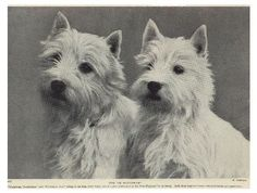 West Highland Terrier Westie Dog 1934 Vintage Photo Print
