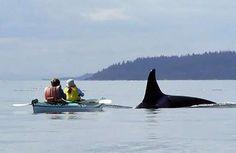 Planning to do this in July! Half Day San Juan Island Kayak Tours: Killer Whale Watching Trips - Seattle Washington