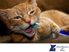 CLÍNICA VETERINARIA DEL BOSQUE. Es importante revisar los dientes de tu perro, un cuidado dental adecuado puede reducir la presencia de sarro, caries, pérdida de piezas dentales y mal aliento. Puedes usar cepillos dentales para humanos suaves, de dedo y cepillos para la lengua, la pasta dental de nuestras mascotas es enzimática a diferencia de la nuestra. Te invitamos a visitarnos para  que nuestros médicos especialistas realicen una profilaxis dental de tu mascota. #veterinaria