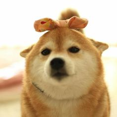 This shiba is not amused by your accessorizing. Shiba Inu Doge, Chug Dog, Cute Doge, Animals And Pets, Baby Animals, Pet Dogs, Dog Cat, Big Dog Breeds, Japanese Dogs
