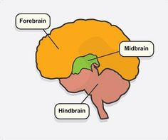 The Deficits after a Stroke according to its location.  There are various possible disabilities resulting from a stroke: hemiparesis (one-sided body weakness), paralysis of one side of the face, slurred speech, motor impairments, etc.  The brain is a complex structure which can be divided into 3 sections: the forebrain, the midbrain and the hindbrain. Damage to each of these areas results in different types of disabilities.