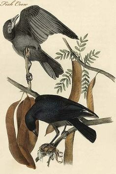 Hand-colored aquatint engraving by R. Havell from the first edition of The Birds of America (London: 1827-1838).