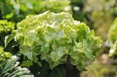 Jade Hydrangea | Le splendide hortensia macrophylla magical jade , pleine floraison ...
