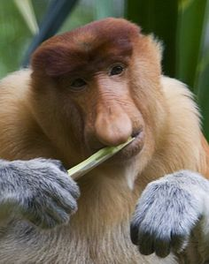 The proboscis monkey is best known for its sizable schnoz. Reaching up to 7 inches in length, the nose of the pot-bellied monkey is used by the males to attract a mate, thanks to its unusual appearance. Chambers in the nose are also used to amplify the primate's warning call. Due to habitat loss, the proboscis monkey is currently an endangered species.