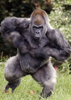 List of animals without tail from different categories of the animal kingdom - Mammals List Of Animals, Animals And Pets, Baby Animals, Funny Animals, Cute Animals, Strange Animals, Primates, Mammals, Silverback Gorilla