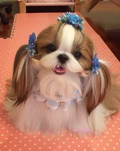 3060 Best I Shihtzu Dogs Images On Pinterest Cute Puppies