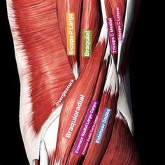 Muscle Anatomy, Body Anatomy, Message Therapy, Aesthetics Bodybuilding, Anatomy Images, Human Anatomy And Physiology, Health Heal, Anatomy For Artists, Anatomy Study