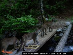 Remote Camera Photo of the Week: Puma Family Group Crossing Bridge in the Sierra Foothills, CA    Every week, we post a photo from our remote camera research database from the Bay Area Puma Project and from photos shared with us.    To submit a photo for Photo of the Week, email info@felidaefund.org! If your photo is chosen, we will send you a Bay Area Puma Project water bottle    Happy Monday!