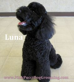 Luna is a delightful Miniature Poodle. We did a custom stylized cut with bell bottom leg flares and a peanup shaped face and head.