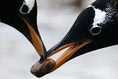 penguinsss!