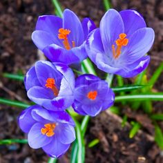 <b>Crocus</b> <b>flowers</b> in the soil, stock photo