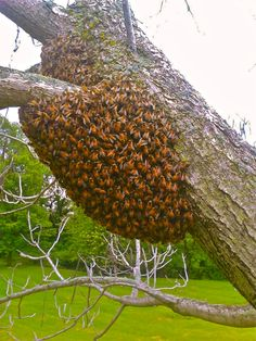 A bunch of bees on my friends property in Jersey County, IL.