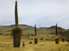 Plantas Puya o Titanca (conocida como Puya Raimondi), crece a 3.800 m sobre el nivel del mar, es autóctona del Perú