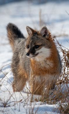 """Gray Fox. You can see Over 2500 more animal pictures on my Facebook """"Animals Are Awesome"""" page. animals wildlife pictures nature fish birds photography cute beautiful"""