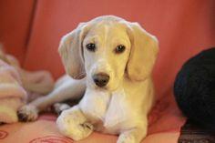 Emma (Cocker Spaniel, Labrador) Mischling Mix Unique Dog Breeds, Rare Dog Breeds, Popular Dog Breeds, Border Collie Mix, Beagle Mix, Daschund, Golden Retriever, Labradors, Dogs Of The World