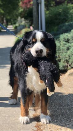 [F]irst post. Be gentle. This dog carrying a stuffed version of itself. #cute #dogs #dog #aww #puppy #adorable